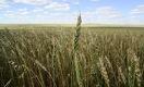Что ждет производителей зерна в этом году: убытки или прибыль?