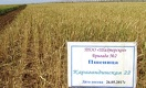 Казахстанская пшеница упала в цене накануне жатвы