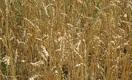 Казахстанское зерно нового урожая может «сгореть»