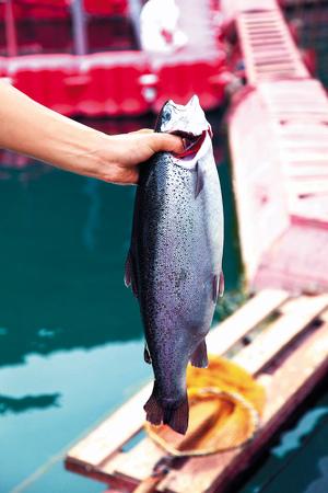 Здоровую норвежскую форель отличает ровный светлый, серебристый цвет чешуи. рыба с таким цветом чешуи вырастает только в чистых, проточных водах, при правильном питании.